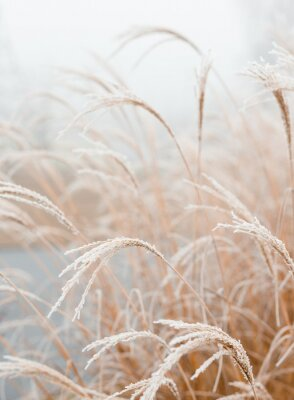 Plakát Abstract natural background of soft plants Cortaderia selloana. Frosted pampas grass on a blurry bokeh, Dry reeds boho style. Patterns on the first ice. Earth watching
