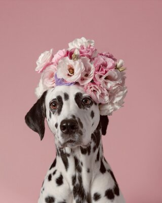 Plakát Adorable dalmatian dog with wreath on pink background. Dog portrait with floral crown. I love you. Happy Valentines Day concept