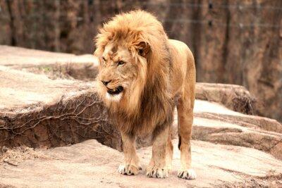 Plakát africký lev