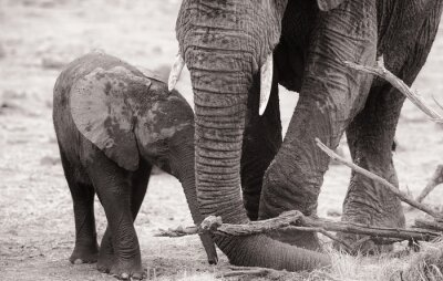 Plakát Africký sloní mládě