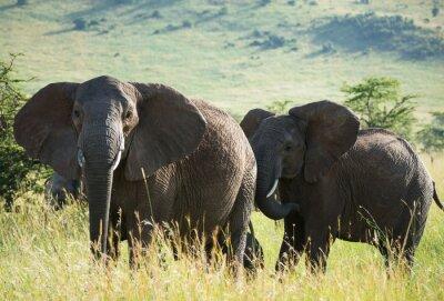 Plakát Afričtí sloni na africké savany