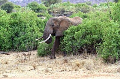 Plakát Afričtí sloni v savaně