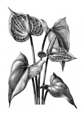 Plakát Anthurium botanické vinobraní gravírování ilustrace klipart izolovaných na bílém pozadí