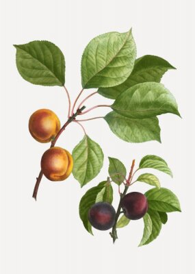 Plakát Apricots and plums