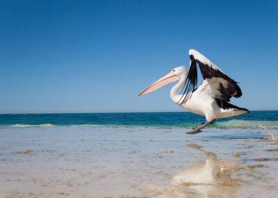 Plakát Austrálie, Yanchep Lagoon, 04/18/2013, pelikán australský vzlétat za letu z australské pláže