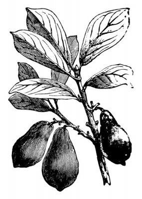 Plakát Avocado vintage illustration.