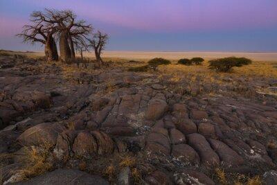 Plakát Baobabs v časném ranním světle