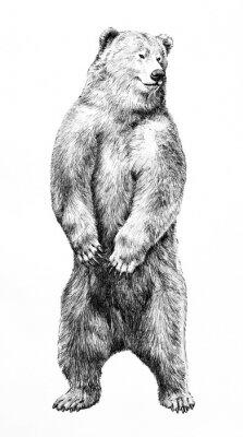 Plakát Bear illustration of dangerous animal standing on hind legs, hand drawn grizzy bear pencil sketch, wild animal
