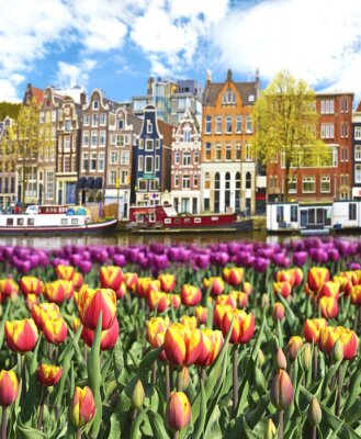 Plakát Beautiful landscape with tulips and houses in Amsterdam, Holland