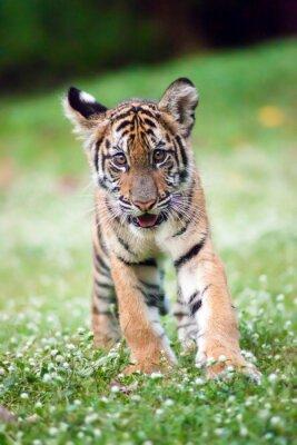 Plakát Bengálský tygr Dítě je chůze přes louku.