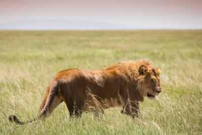 Plakát Big Young Lion v národním parku Serengeti