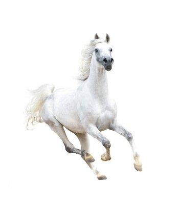 Plakát bílá arabský kůň na bílém