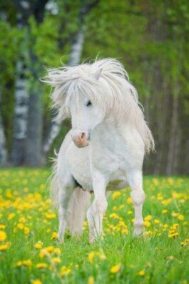 Plakát Bílá shetlandský pony s krásné dlouhé hříva běží na poli s pampelišky