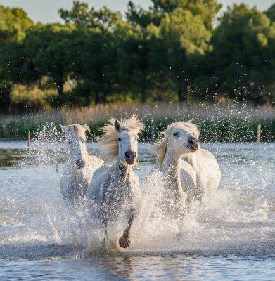 Plakát Bílé Camargue koně běžet na bažiny přírodní rezervace. Parc Regional de Camargue. Francie. Provence. Vynikající ukázkou