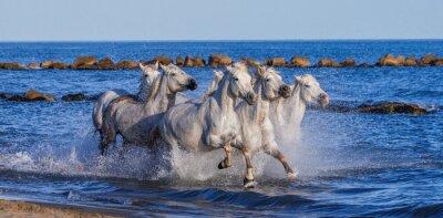 Plakát Bílé Camargue koně cválající podél mořském pobřeží. Parc Regional de Camargue. Francie. Provence. Vynikající ukázkou