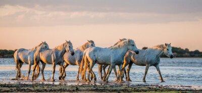 Plakát Bílé Camargue koně stojí v bažiny přírodní rezervace. Parc Regional de Camargue. Francie. Provence. Vynikající ukázkou