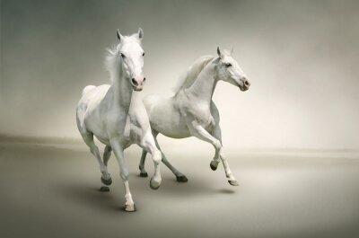 Plakát Bílé koně