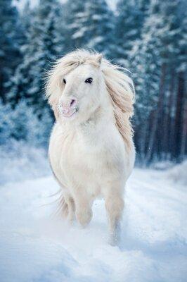Plakát Bílé shetlandský pony běží ve sněhu v zimě