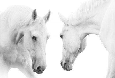 Plakát bílí koně