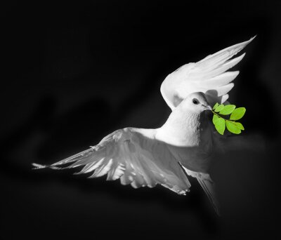 Plakát bílý holub