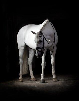 Plakát Bílý kůň na černém pozadí