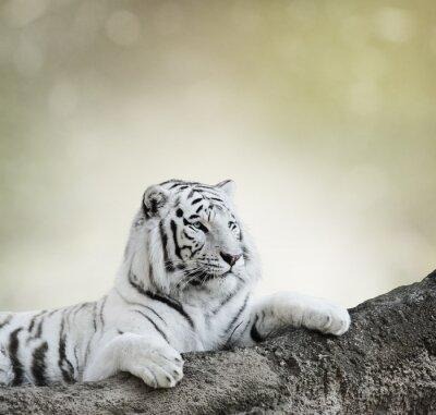 Plakát Bílý tygr