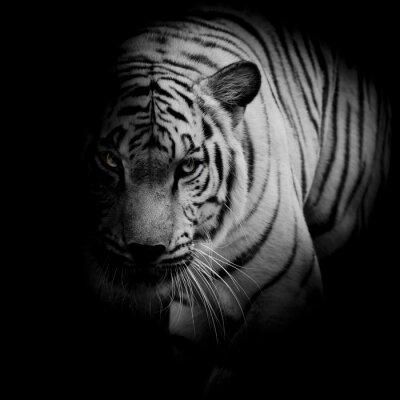 Plakát Bílý tygr na černém pozadí