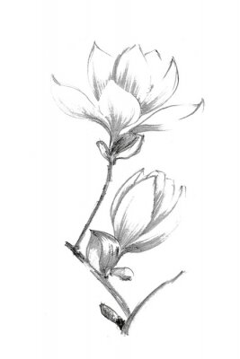 Plakát Black-white illustration with a pencil. White magnolia. Elegant botanical illustration.