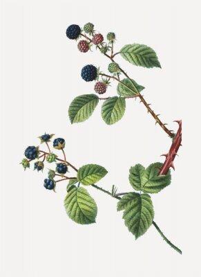 Plakát Blackberry bush