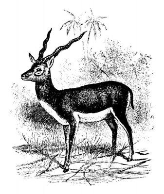 Plakát Blackbuck vintage illustration.