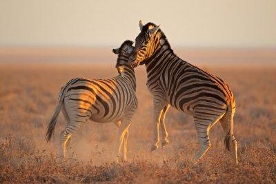 Plakát Boj pláně zebry, Národní park Etosha
