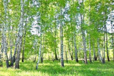 Plakát bříza les