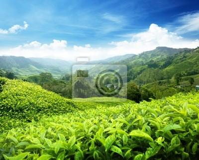 Plakát Čajové plantáže Cameron Highlands, Malajsie