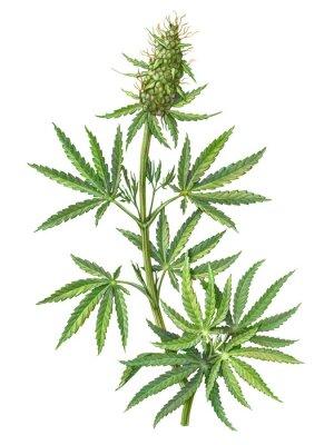 Plakát Cannabis Female Plant Pencil Illustration Isolated on White