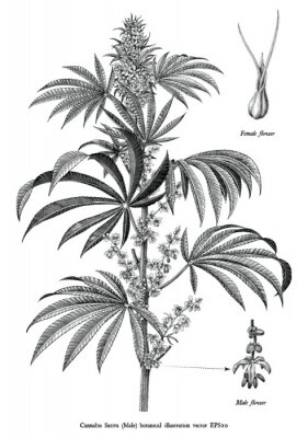 Plakát Cannabis sativa male tree botanical vintage engraving illustration black and white clip art isolated on white background