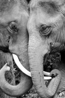 Plakát Černá a bílá close-up fotografie dvou slonů něžnosti.