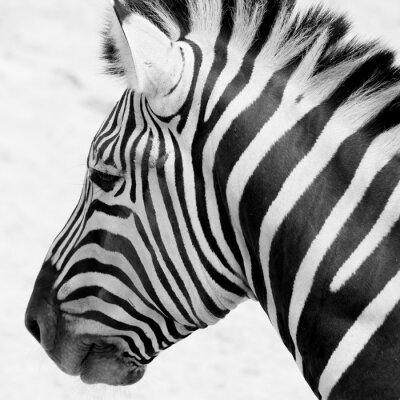 Plakát černá a bílá zebra