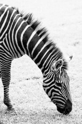 Plakát Černobílá fotografie zebra