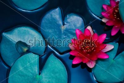 Plakát červená lotosová lilie kvetoucí na vodní hladině a tmavě modré listy tónované, čistota přírody pozadí, vodní rostlina, symbol buddhismu.