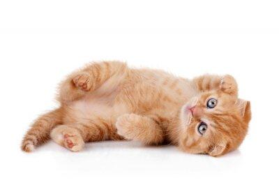 Plakát Červené kotě na bílém pozadí