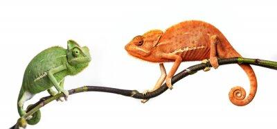 Plakát chameleon - Chamaeleo calyptratus na větvi