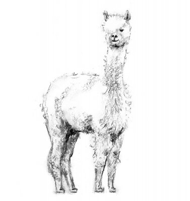 Plakát Charcoal drawing lama with forelock standing and looking forward