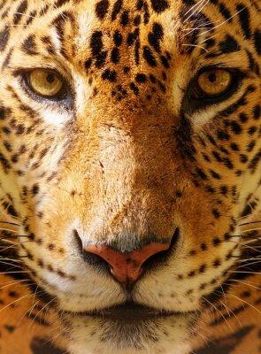 Plakát Close-up shot nádherná leopard