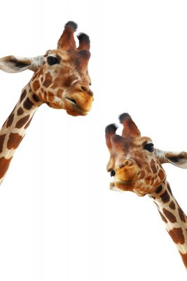 Plakát Couple of giraffes closeup portrait isolated on white background
