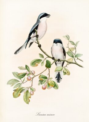 Plakát Couple of white and bluish birds on a single isolated branch rich of leaves and berries. Old colorful illustration of Lesser Grey Shrike (Lanius minor). By John Gould publ. In London 1862 - 1873