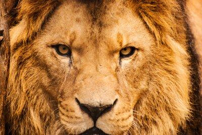 Plakát Detailním portrét afrického lva