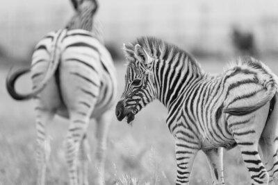 Plakát Dětská Zebra