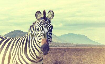 Plakát Divoké africké zebra. Vintage efekt