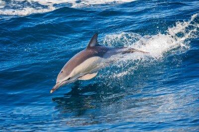 Plakát Dolphin skákání venku u moře