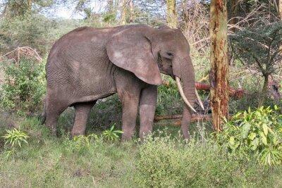 Plakát Dospělý slon s velkými kly stojí v profilu v blízkosti kmene stromu. Národní park Lake Manyara, Tanzánie, Afrika.